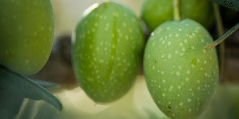 Where to Taste California Olive Oil
