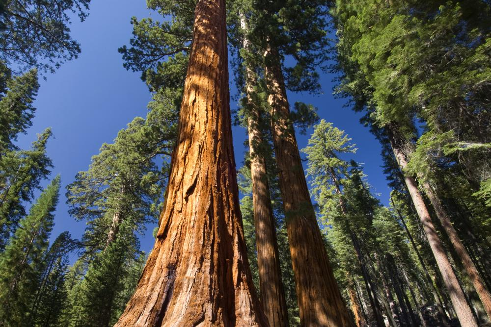Big News for Nature Lovers: Mariposa Grove Reopens Friday