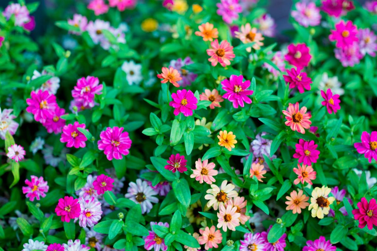 Metzger Zinnia Patch