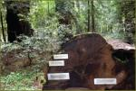 Avenue of the Giants - More information