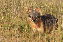 Channel Islands National Park / Island Fox