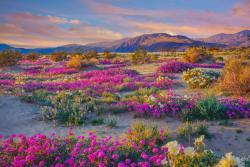 Where to See Desert Wildflowers Right Now