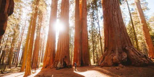 5 Remarkable California Trees