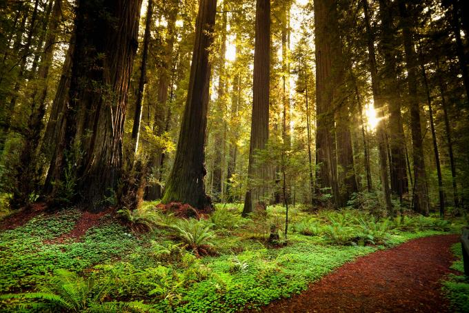 Giant trees and lush forest in the Humboldt Redwoods State Park California