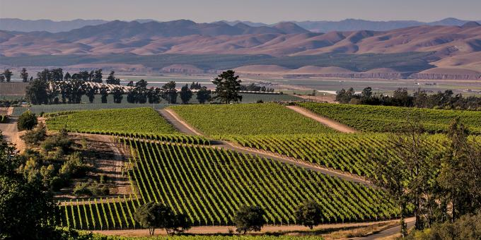 Rows of vineyards in the Santa Maria Valley